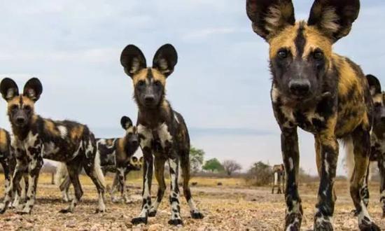 你以为非洲野犬打喷嚏了其实人家在投票