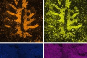 真正一瞥远古的历史3.1亿年前鲎的大脑完整保存